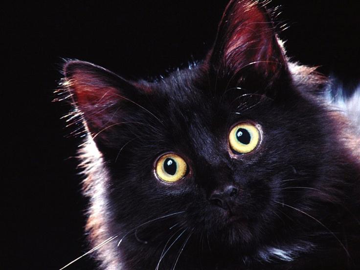 Black cats...: Cat Wallpapers, Black Animal, Black Kitty, Domestic Black, Chat Noir, Beautiful Black, Black Beautiful, Blackcat, Black Cat