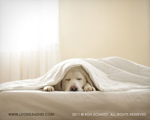 yellow lab sleeping under the covers