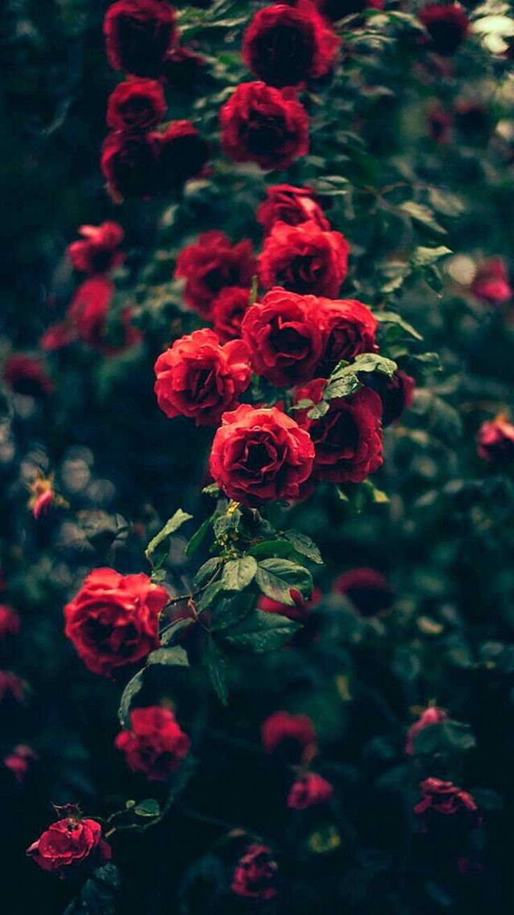 Beautiful Garden Red Roses Flowers iPhone 6 Wallpaper