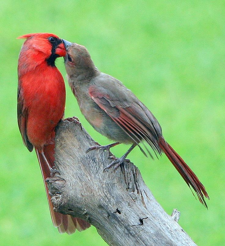 I love how Cardinals feed each other.   LET'S TAKE A LITTLE NATURE BREAK | FrontBurner | D Magazine