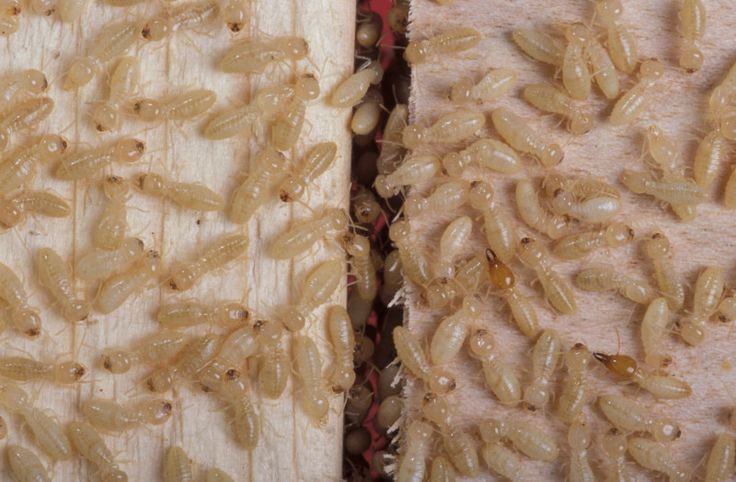 termite queen eggs per day