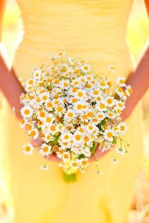 Camomile daisies