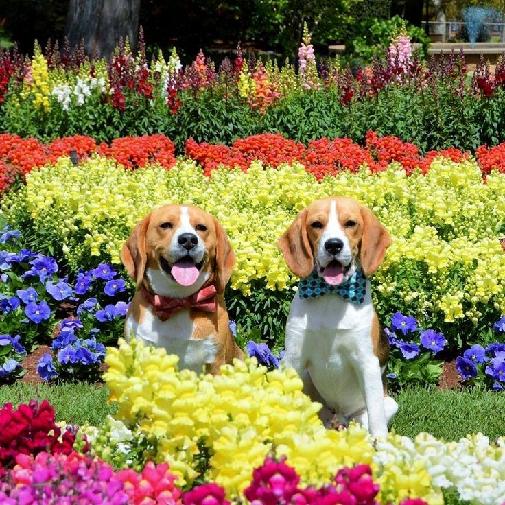 """Spring has arrived! Bundy and Baxter loving the flowers and weather!"