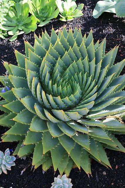 Magnifique ! Aloe polyphylla ou Aloes spirale, plante succulente. Fractale végétale.