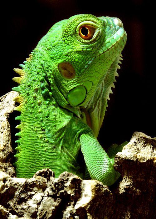 Juveniler Grüner Leguan http://fc-foto.de/2057533                                                                                                                                                                                 Mehr