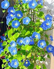 BLOMMAN FÖR DAGEN 'Heavenly Blue'