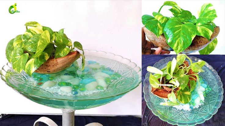 floating money plant/money plant growing style /boat style/ORGANIC GARDEN – money plant