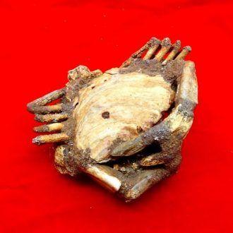 Fosil Kepiting Berumur Jutaan Tahun