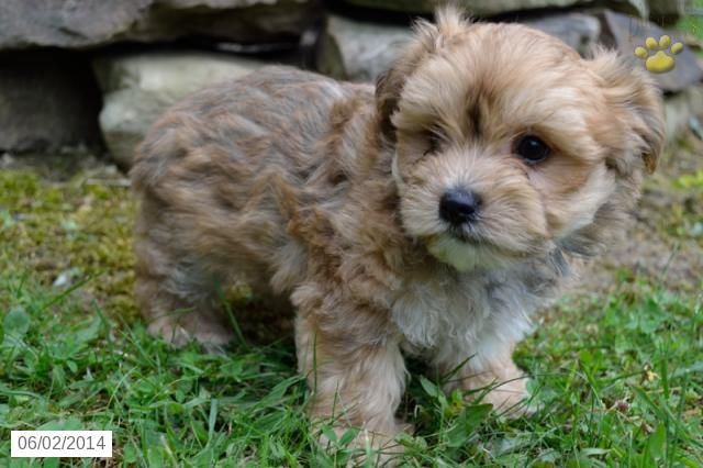 Morkie Puppy for Sale in Ohio