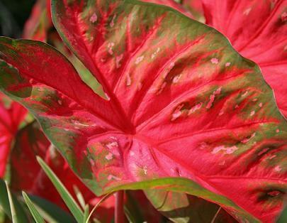 How to Propagate Caladium | Garden Guides