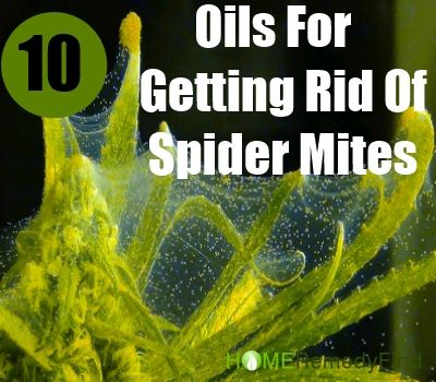Top 10 Essential Oils For Getting Rid Of Spider Mites - note: no recipes, just list of oils and their helpful properties