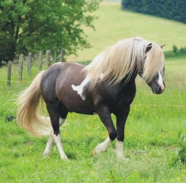 silver black tobiano - Icelandic Horse stallion Skinfaxi vom Gartetal