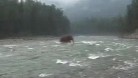 Bear carries a fish across a stream, idiots think it's a mammoth