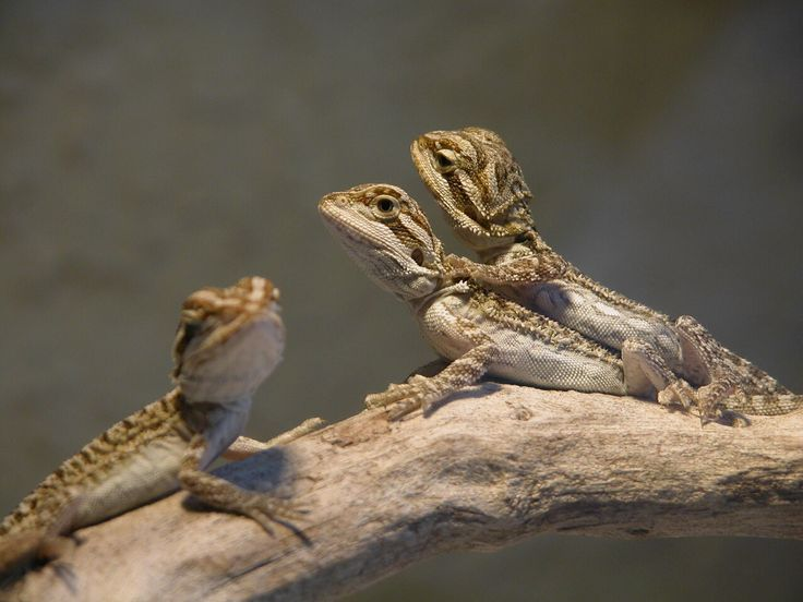 How To Breed Bearded Dragons Safely