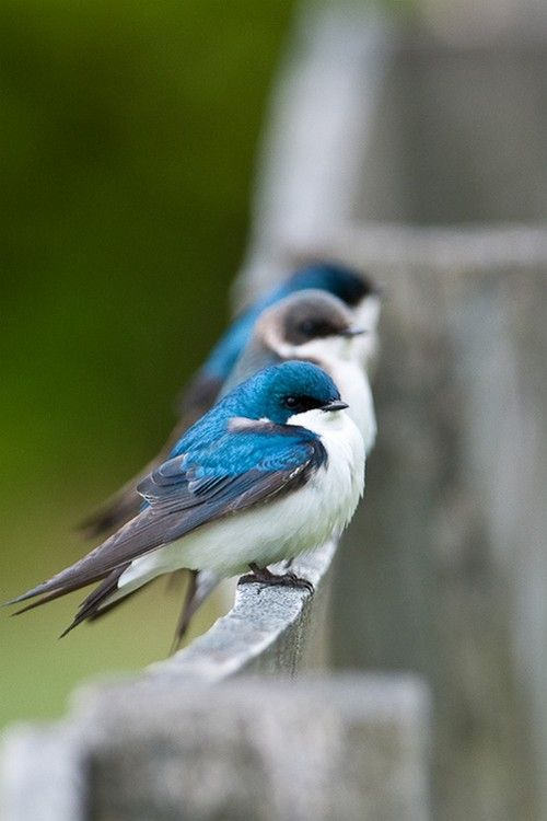 ❥‿↗⁀simply-beautiful-world wonderous-world:  Tree Swallows by Stephen Davies