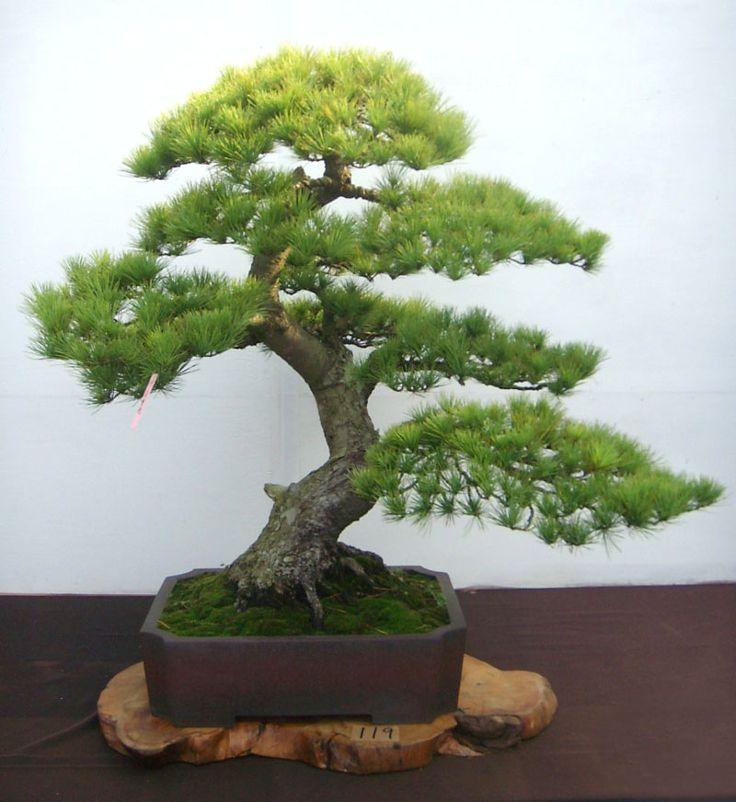 RP: Japanese 5-Needle Pine                                                                                                                                                                                 More