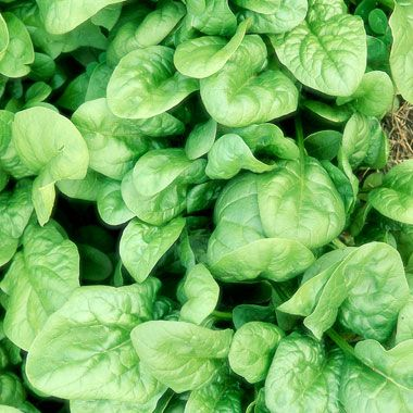 how to overwinter spinach