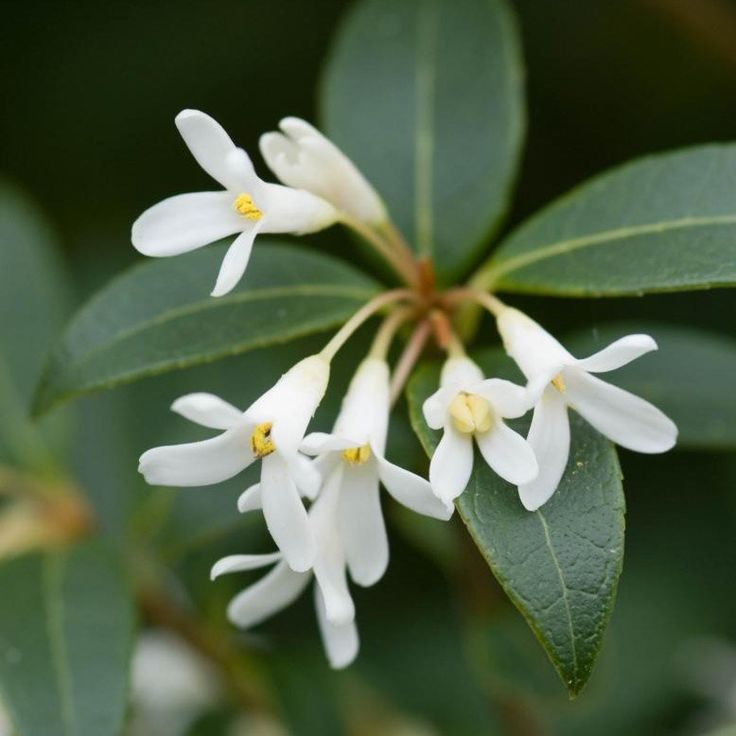 Evergreen shrub with scented, white spring flowers