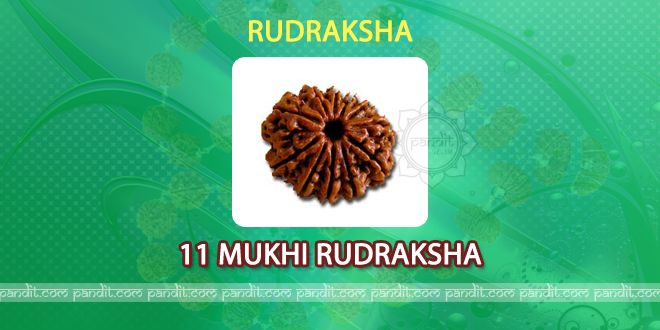 11 mukhi Rudraksh by Rahul Kaushal Astrologer  ------------------------------------------------------ It has 11 lines on it and is valuable, effective for Lord Shiva followers. It gives strength, knowledge amd makes body strong. God Indra is also considered lord for it. It is equal to Asvamedh Yagya and giving of of 11 lakh cows. Those who struggles for everything, poor decision making, tensions in mind, always feel insulted must wear 11 mukhi Rudraksh…