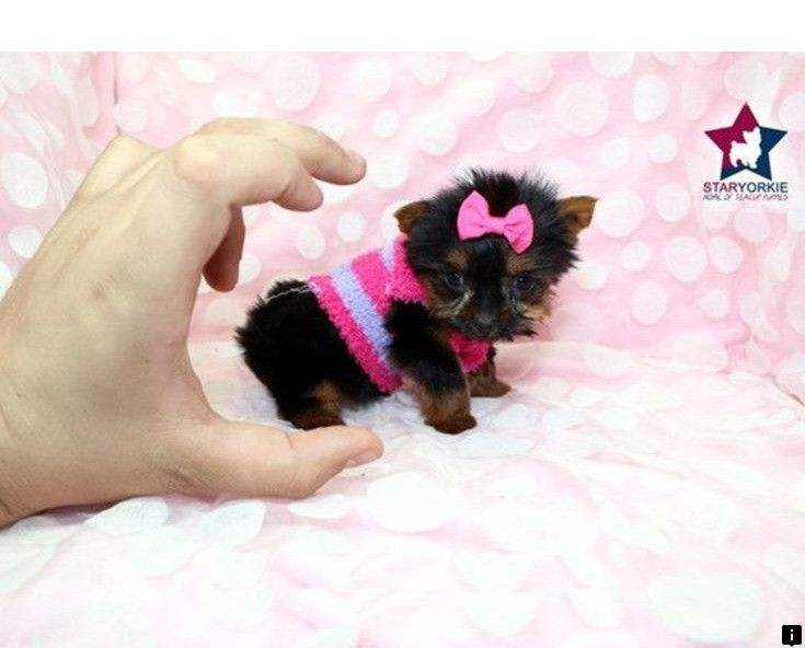 Want To Know More About Morkie Puppies Click The Link For More Info Our Web Images Are A Must See In 2020 Yorkie Breeders Teacup Yorkie Yorkie