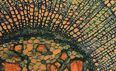 Vascular Plant Microphoto 2004-034, scanned microphotograph,  image size = 34 x 21 cm, aspect ratio = 1: 1.618  ©2005 Doug Craft