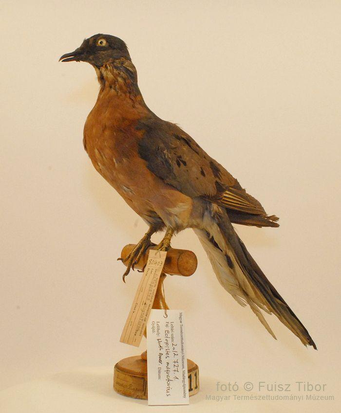 A Magyar Természettudományi Múzeum Madárgyűjteményének 1956-os megsemmisülése után a Royal Ontario Museum of Zoology ajándékba küldött egy példányt a kihalt fajból a múzeumnak. Ez ma a gyűjtemény egyik legnagyobb becsben tartott példánya. (kép: Fuisz Tibor István [MTM])