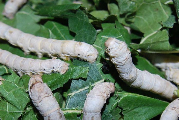 LEBANON, Silkworm - دودة القز