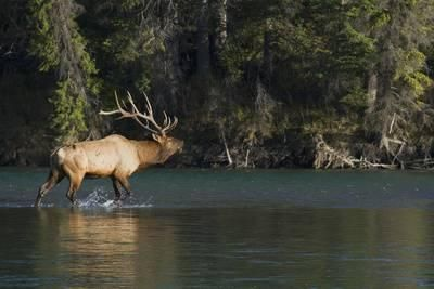 Rocky Mountain Bull Elk Bugling Photographic Print by Ken Archer at AllPosters.com