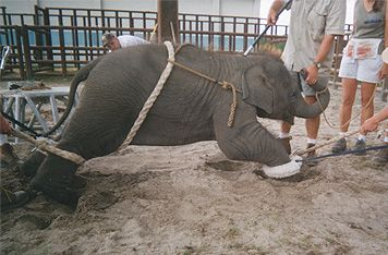 """Elephant circus animal abuse.  It's very sad that some people call this """"entertainment."""" Please open your eyes and heart and get educated about what happens behind the scenes in animal circuses.  Please don't support this cruelty!"""