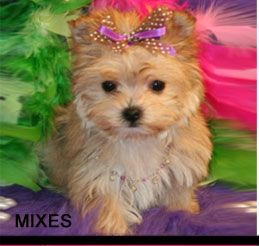 Teacup Puppies for sale dog Boutique for teacups, dogs for sale,  Designer Dog Clothes and Teacup Yorkies
