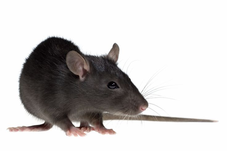 Rats - Facts About Rats - Types of Rats - PestWorldforKids.org