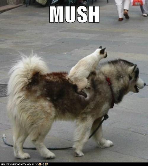Mush KittehSiam Cat, Lol Cat, Best Friends, Dogs Cat, Pets, Husky, Funny Animal, So Funny, Kitty