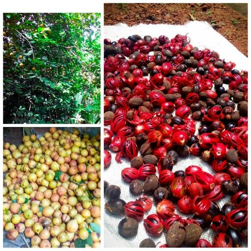 Nutmeg tree (product - nutmeg and mace)
