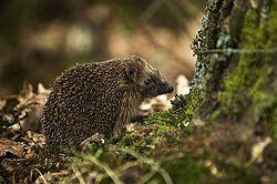 ERIZO COMUN West European Hedgehog (Erinaceus europaeus)1.jpg
