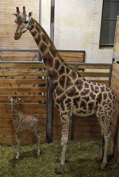 baby giraffe: Babies, Giraffes Baby, Giraffes Lov, Baby Angel, Baby Giraffes, Baby 3, Cutest Critter, Baby Animal, Cutest Giraffes