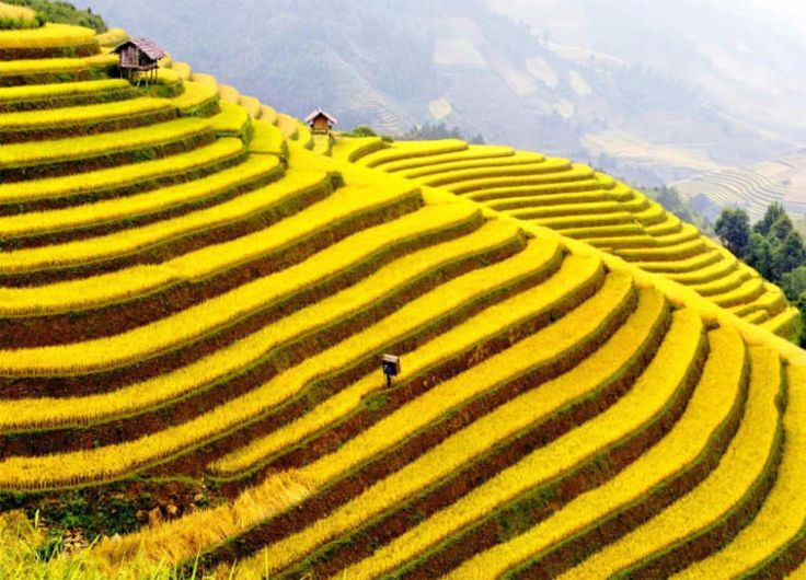 Rice terraces, Muong Hoa valley, Lao Cai province, Vietnam