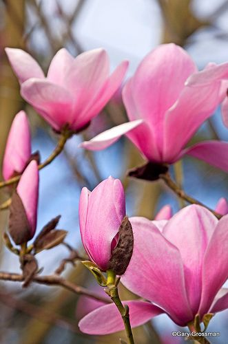 """The magnolia is a harbinger that spring has finally arrived.  The flower represents """"splendid beauty and dignity.""""  The magnolia tree was named after a French botanist from the 1600s named Pierre Magnol."""
