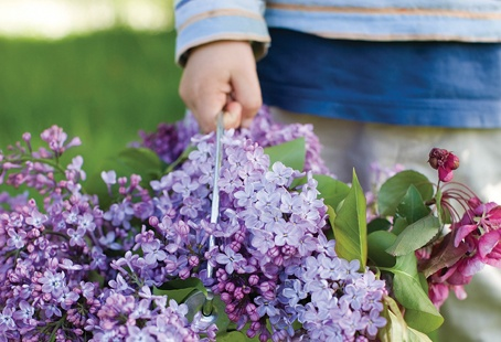 Lilacs are undeniably beautiful and aromatic flowers, and, like snowflakes, each variety has its own interesting characteristics