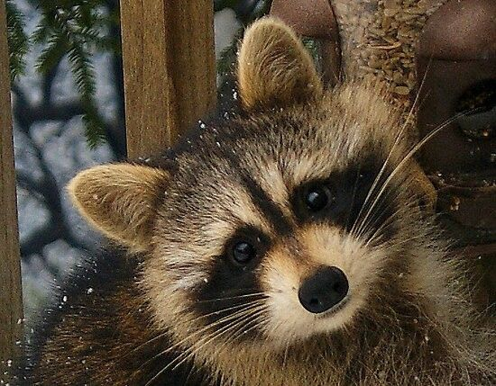 Raccoon's online dating profile pic