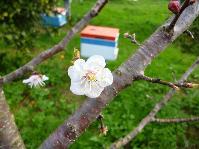 Το μελισσοκομείο στον κάμπο της Άρτας την άνοιξη.