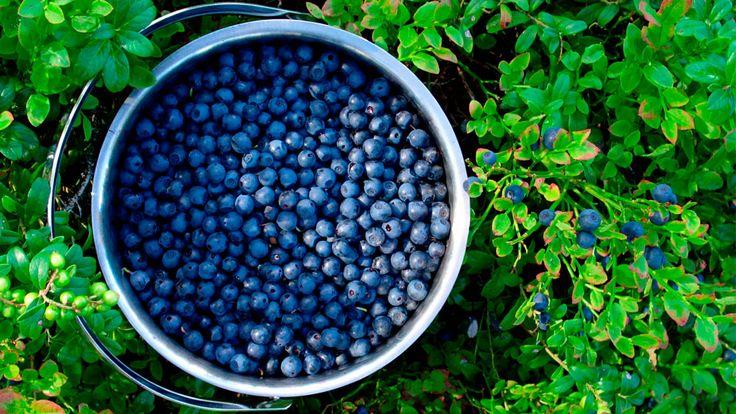 Blueberries Growing Guide