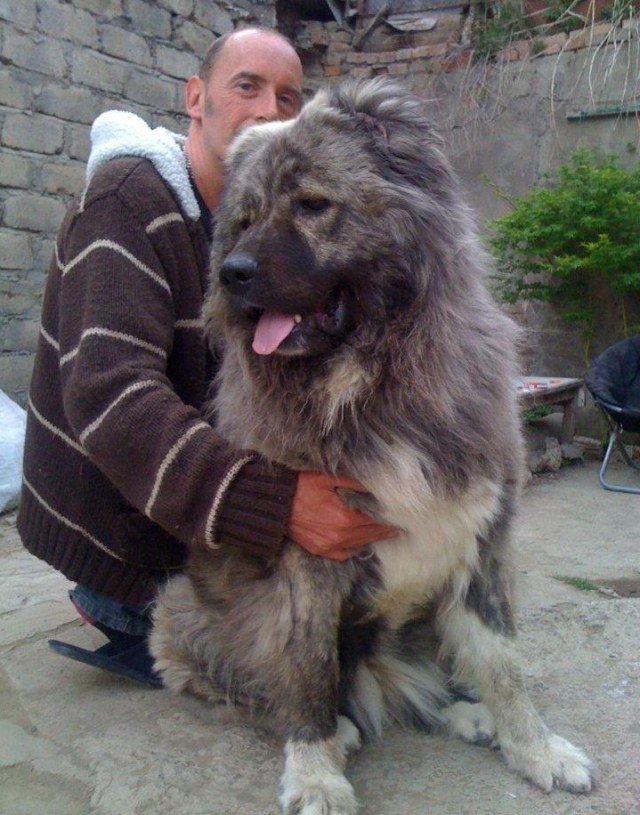 Fantastic Caucasian Ovcharka Chubby Adorable Dog - 8743f628368439759fa05df11a569338--caucasian-mountain-dogs-caucasian-shepherd-dog  Trends_1084100  .jpg