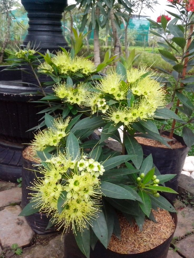 Xanthostemon chrysanthus - Golden Penda, cutting cultivation. ulalaa each tree was simultaneously flowering