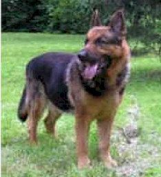 German Shepherd - GUIDE TO TRAINING GERMAN SHEPHERD DOGS!  http://dunway.us/kindle/html/german_shepherd.html