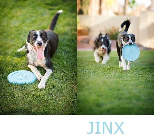 JINX - Border Collie available for adoption through Arizona Border Collie Rescue: http://azbordercollierescue.com/index.asp © Kira DeDecker Photography
