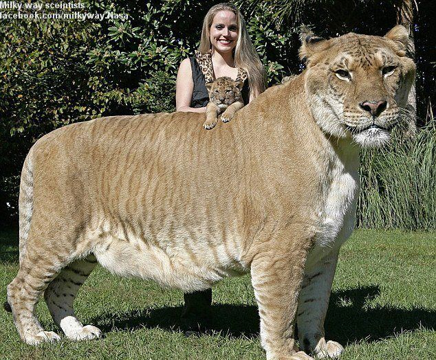 Hercules, famous for being the Guiness Book of World Record holder of largest cat, is now also a big brother – and at 900 pounds and standing at almost 6 feet tall, he is a really BIG brother!
