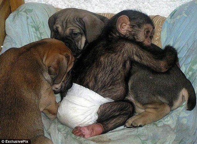 a chimp who thinks he's a puppy...so cute!