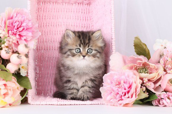 Tabby Persian Cats | Little Tabby Persian Kitten | Superior Quality Teacup Persian Kittens ...