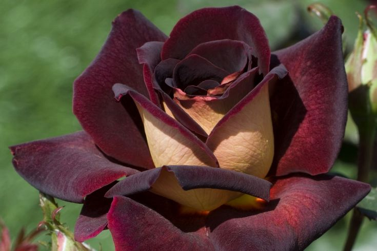 Dark Knight Roses
