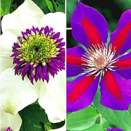 Clematis-Raritäten-Sortiment zum Vorteilspreis,2 Pflanzen